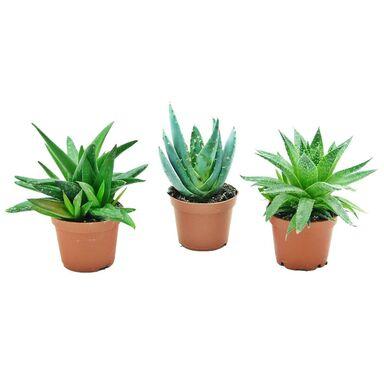 Aloes MIX 10 cm