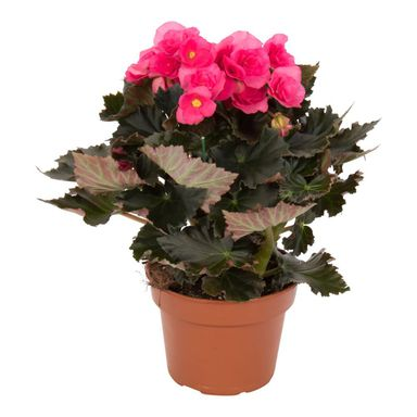Begonia zimowa MIX 34 cm