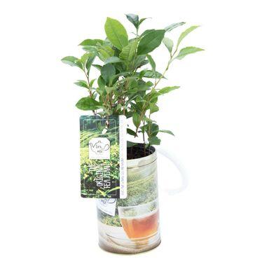 Herbata / Camelia Sinensis 45 cm