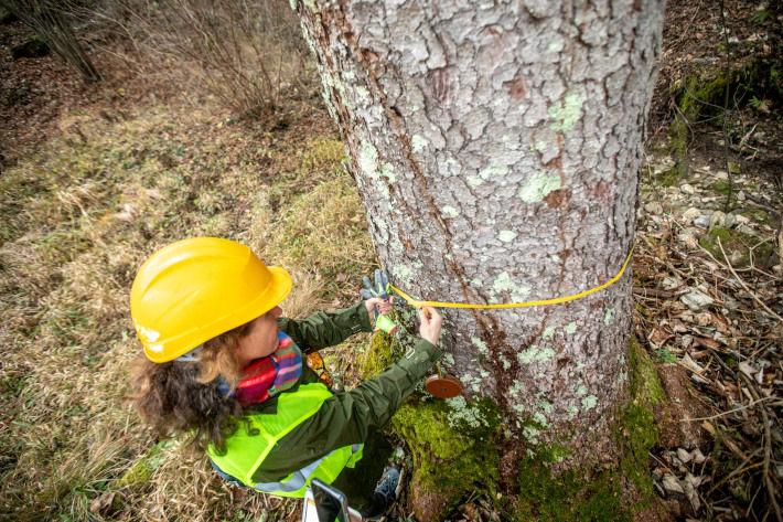 Mierzenie obwodu drzewa do ścięcia