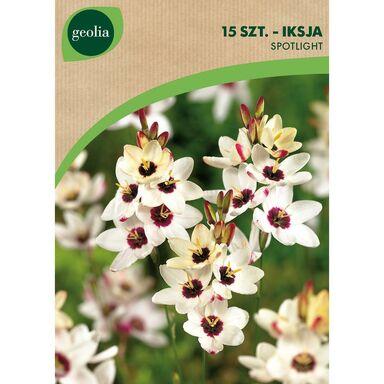 Iksja SPOTLIGHT 15 szt. cebulki kwiatów GEOLIA