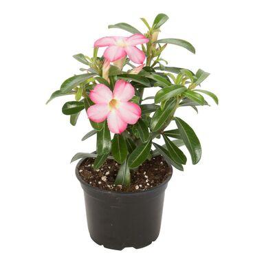 Róża pustyni MIX 30 cm