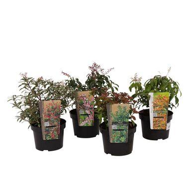 Roślina ogrodowa Pieris japoński 10 - 15 cm