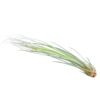 Oplątwa (Tillandsia 'Juncea') 20 - 25 cm