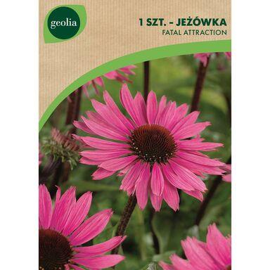 Jeżówka FATAL ATTRACTION 1 szt. cebulki kwiatów GEOLIA