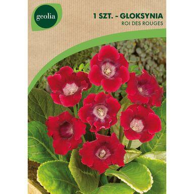 Cebulki kwiatów ROI DES ROUGES Gloksynia 1szt. GEOLIA