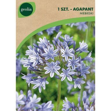 Cebulki kwiatów BLUE Agapant 1szt. GEOLIA