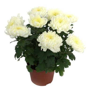 Chryzantema wielkokwiatowa MIX 30 - 35 cm