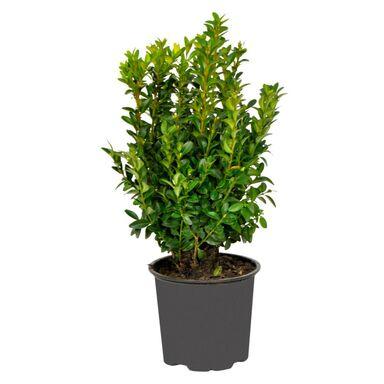 Bukszpan wieczniezielony 15 - 20 cm