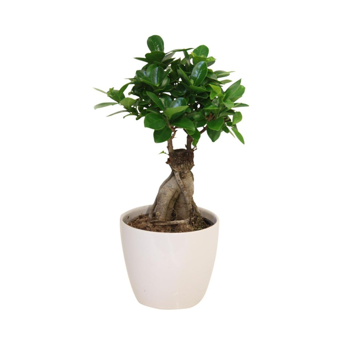 Pin ficus ginsengjpg on pinterest - Bonsai ficus ginseng entretien ...