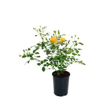 Róża licencjonowana MIX 30 - 40 cm