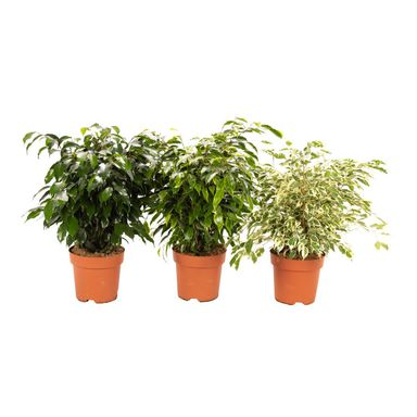 Figowiec Benjamiński Ficus MIX 65 - 70 cm
