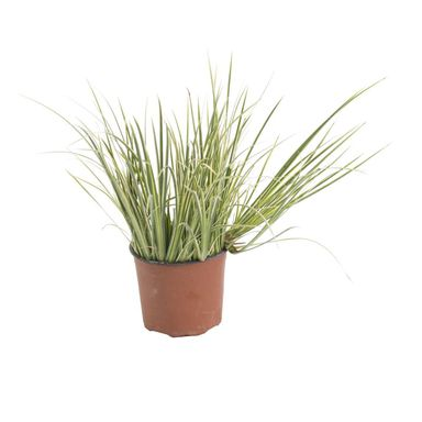 Roślina ogrodowa Turzyca oszimska 'Evergold' 10 - 20 cm