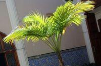Palmy kokosowe w domu