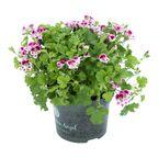 Roślina kępiasta MIX Pelargonia 20 - 25 cm