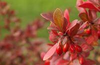 Rośliny o barwnych i ciekawych pędach