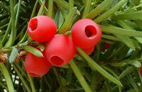 Rośliny o ozdobnych owocach