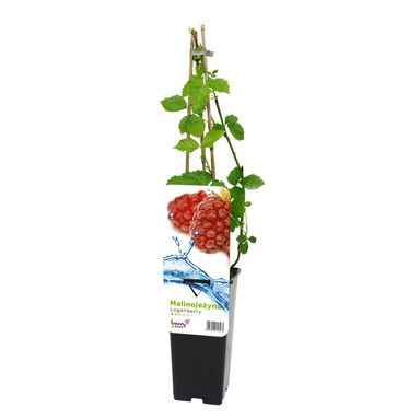 Malinojeżyna Loganberry 45 cm BERRY&MORE™