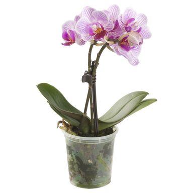 Storczyk Falenopsis miniaturowy Little Lady MIX 15 - 20 cm