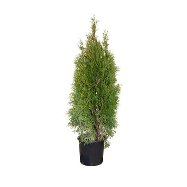 Tuja 'Smaragd' 80 cm (Żywotnik zachodni)