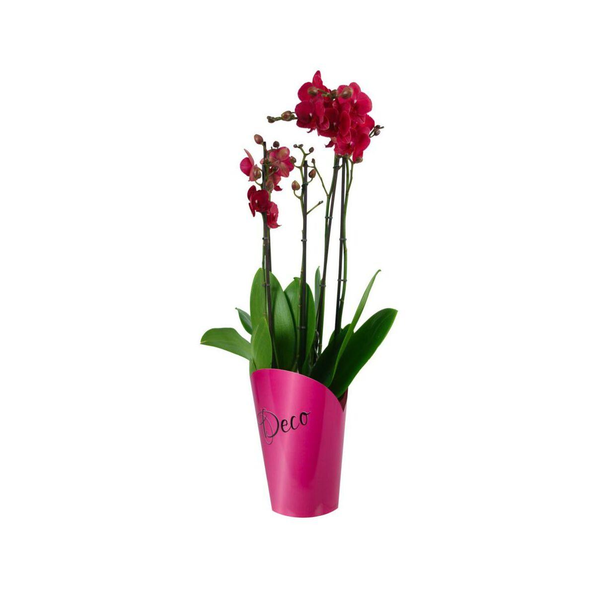 Storczyk Falenopsis 4 Pedy Mix 70 80 Cm Rosliny Kwitnace W Atrakcyjnej Cenie W Sklepach Leroy Merlin