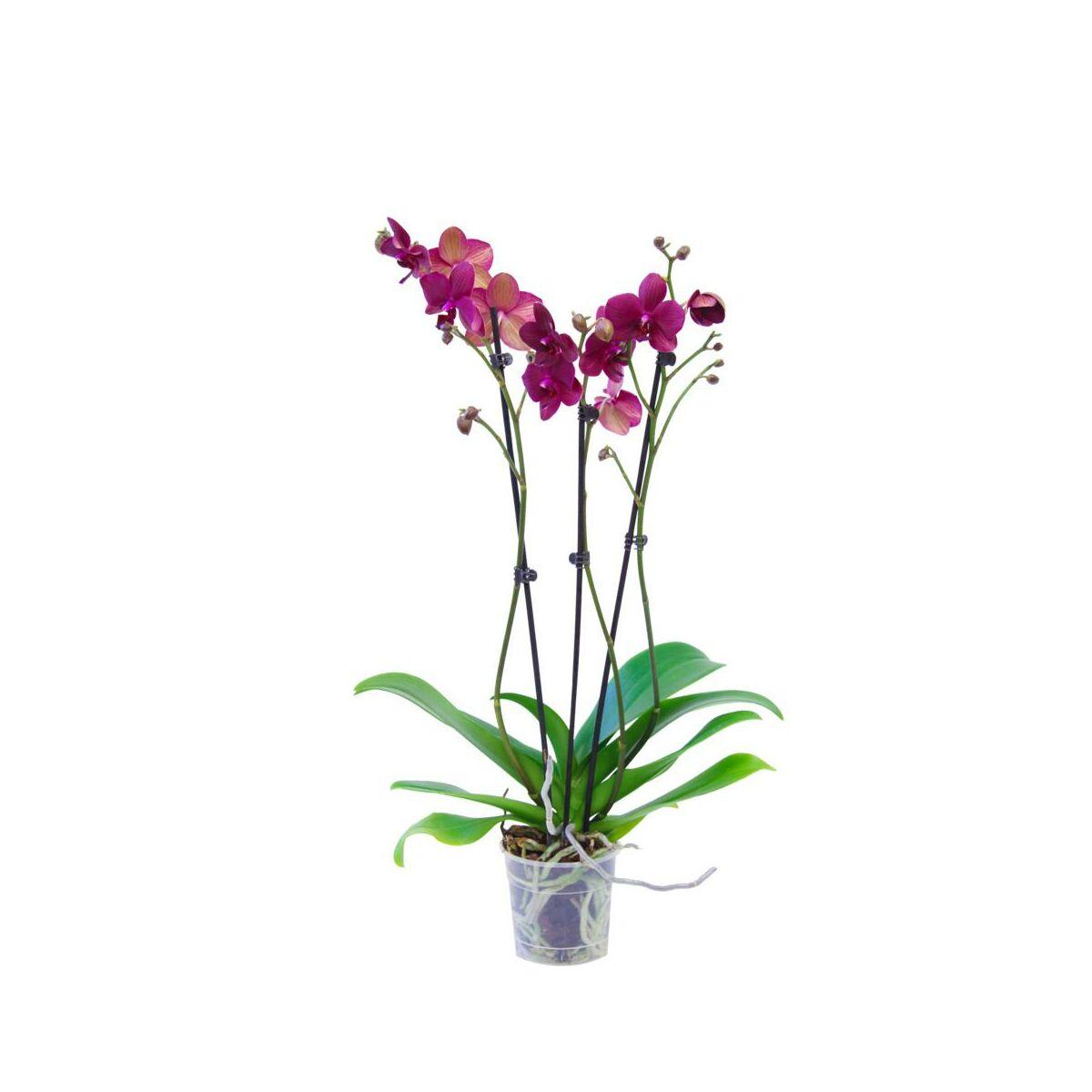 Storczyk Falenopsis 3 Pedy Mix 50 70 Cm Rosliny Kwitnace W Atrakcyjnej Cenie W Sklepach Leroy Merlin