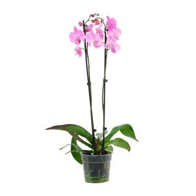 Storczyk Falenopsis Grandiflora 2 pędy MIX 100 cm