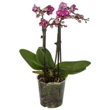 Storczyk Falenopsis Multiflora 4 pędy MIX 50 cm