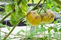 Choroby warzyw – jak się objawiają i jak je zwalczać?