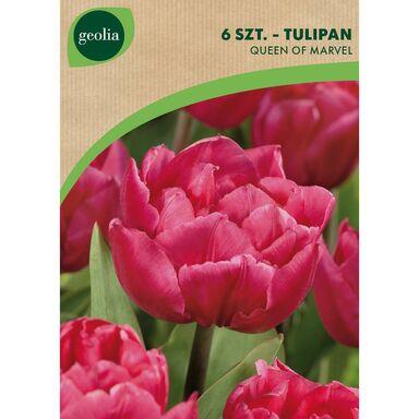 Tulipan pe ny wczesny queen of marvel 6szt geolia - Tulipas leroy merlin ...