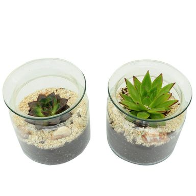 Roślina pokojowa MIX Sukulenty w osłonce szklanej 16 cm